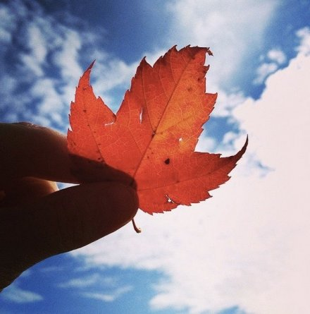 Maple Leaf | University of Guelph
